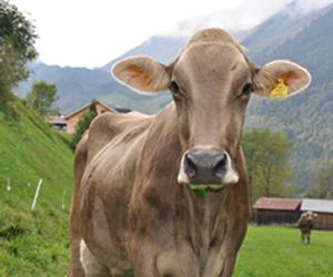 Kühe mieten Familie Erath Au