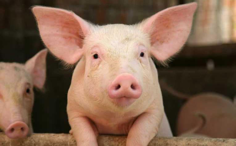 Popolare Perchè in Austria ti regalano un maiale a capodanno? – Italiani in  FO95