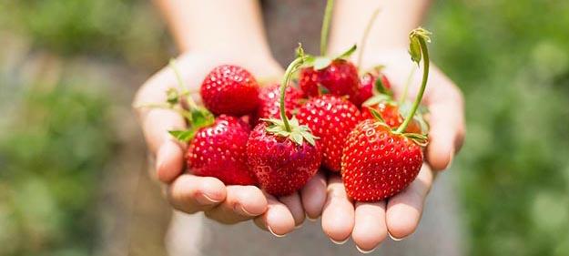 Erdbeeren-selbst-pflcken